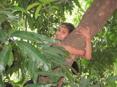 BRAZIL MANGO TREE