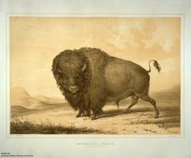[Catlin's North American Indian Portfolio. Hunting Scenes and Amusements of the Rocky Mountains and Prairies of America., Buffalo Bull, Grazing.]