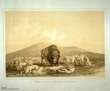 [Catlin's North American Indian Portfolio. Hunting Scenes and Amusements of the Rocky Mountains and Prairies of America., Buffalo Hunt, White Wolves Attacking a Buffalo Bull.]