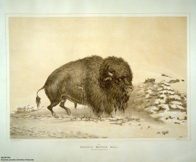 [Catlin's North American Indian Portfolio. Hunting Scenes and Amusements of the Rocky Mountains and Prairies of America., Wounded Buffalo Bull.]