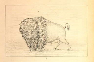 [Buffalo bull, grazing on the prairie, Letters and Notes on the Manners, Customs, and Condition of the North American Indians.]