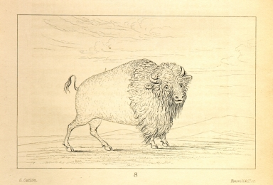[Buffalo cow, grazing on the prairie, Letters and Notes on the Manners, Customs, and Condition of the North American Indians.]