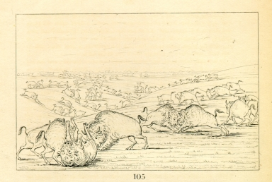 [Buffalo bulls fighting in running season, Upper Missouri, Letters and Notes on the Manners, Customs, and Condition of the North American Indians.]