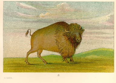 [The Manners, Customs, and Condition of the North American Indians., Buffalo cow, grazing on the prairie]