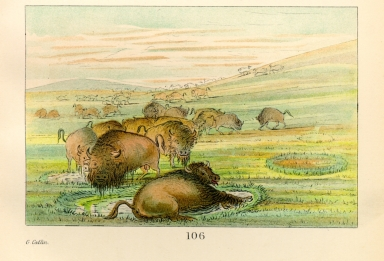 [The Manners, Customs, and Condition of the North American Indians., Buffalo bulls in a wallow]