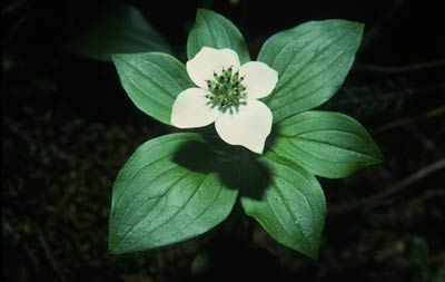Bunchberry Flower